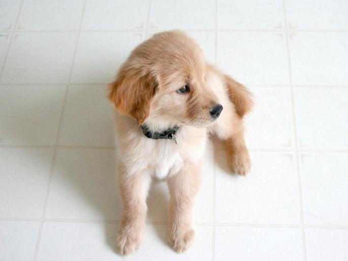 golden ret pup