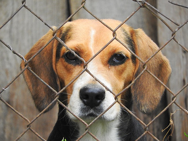 beagle-in shelter